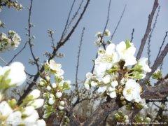 描写杏花的诗