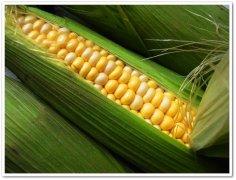 最棒的玉米,最棒的你